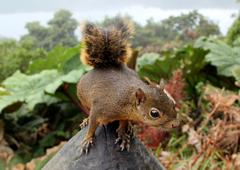 Red tailed squirrel in cloud forest costa rica - stock photo
