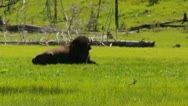 Stock Video Footage of Yellowstone Bison