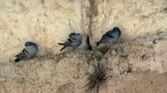 Pigeons on The Western Wall - Jerusalem 1 Stock Footage