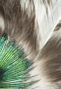 Stock Photo of feathers closeup