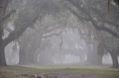 Misty Oak Alley.jpg - stock photo
