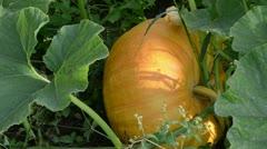 Pumpkin vegetable fruit leaf move wind grow in rural garden Stock Footage