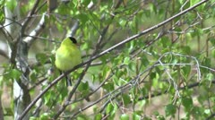 Yellow Canary Stock Footage