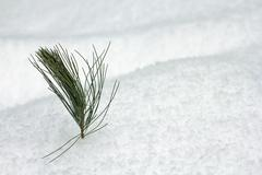 pine branch in the snow - stock photo