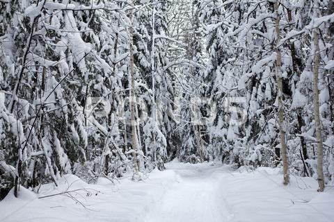 Stock photo of snowy forest