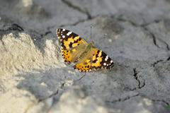 Butterfly on dry land Stock Photos