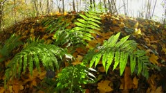 fern in autumn forest - stock footage
