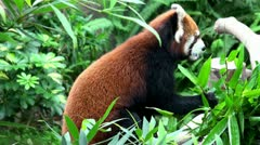 Red panda eating bamboo Stock Footage