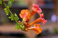 Creeper vine or trumpet vine Stock Photos