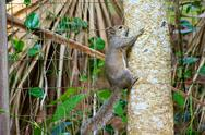Grey squirrel climbing tree Stock Photos