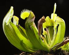 Carnivorous plants Stock Photos