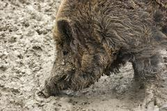 Wild boar detail Stock Photos