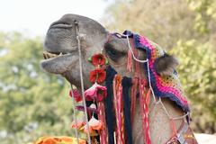 adorned camel portrait - stock photo