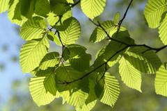 sunny illuminated spring leaves - stock photo