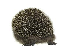 Hedgehog walking away Stock Photos