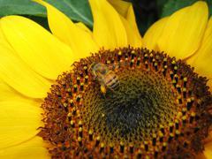 Bee on yellow sunflower Stock Photos