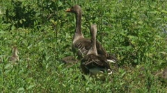 Greylag goose (anser anser) on the lookout - pair Stock Footage