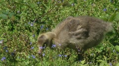 Greylag goose (anser anser) chick grazes in natural habitat Stock Footage