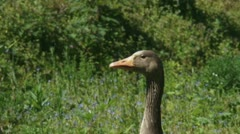 Greylag goose (anser anser) on the lookout Stock Footage