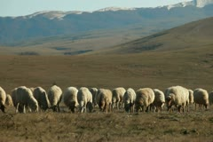 Flock Of Sheep Grazing On Mountain Plateau Stock Footage
