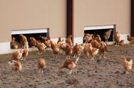 Chickens outdoors Stock Photos