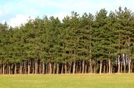 Stock Photo of forest of firs