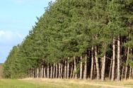 Stock Photo of row of firs