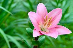 lily flower on a background of green grass - stock photo