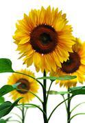 sunflowers, isolated on white background - stock photo