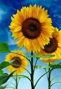 sunflowers on background sky - stock photo