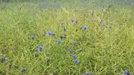 Cornflower (Centaurea cyanus) and rape (Brassica napus subsp. oleifera) Stock Footage