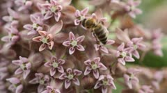 Stock Video Footage of Common milkweed (Asclepias syriaca) and bee (Apis)