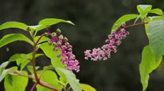 American pokeweed (Phytolacca americana) - stock footage