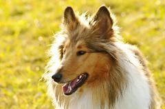 American truebred collie dog Stock Photos