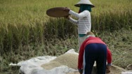 Stock Video Footage of Rice cultivation and farming in Bali by women peasants 4/6