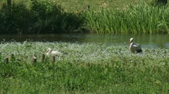 White Stork (ciconia ciconia) 2-shot in marshy wetland. Stock Footage