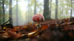 Amanita muscaria growing in the forest Stock Footage
