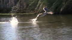 Pelican Hunting for food Stock Footage
