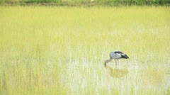 Birds In Paddy Stock Footage