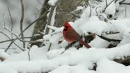 Stock Video Footage of Male cardinal