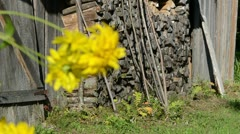 Old rural wooden house stacked firewood yellow flower bloom Stock Footage