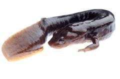 amphibian salamander newt - stock photo