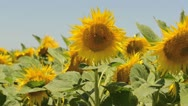 Bees Flying Around Sunflowers in a Field Stock Footage