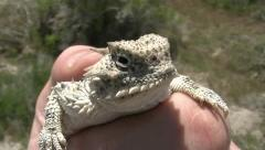 Horny toad in hand at desert Stock Footage