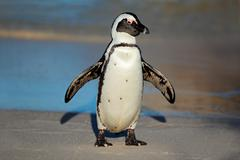 African penguin - stock photo