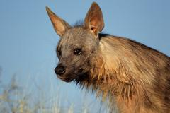 Brown hyena portrait Stock Photos
