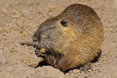 Feeding nutria Stock Photos