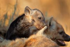 Stock Photo of Spotted hyena pup