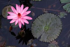 Water lily flower - stock photo