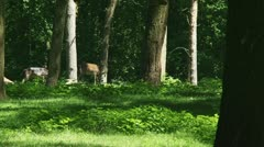 Fallow deer (cervus dama) foraging in forest zoom out Stock Footage